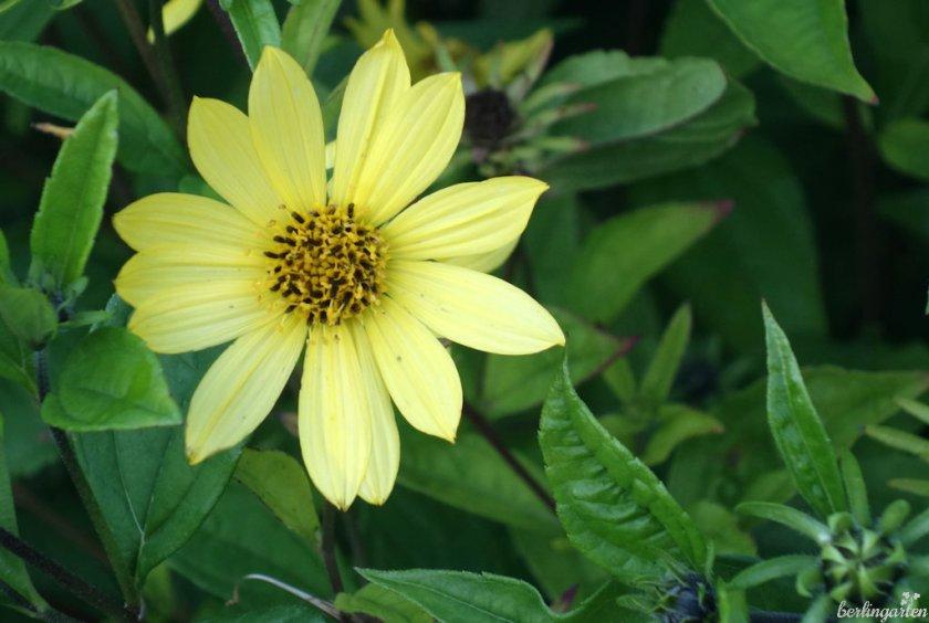 Sonnenblume Sheila's Sunshine