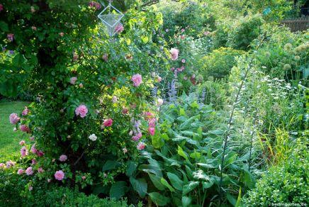 Sommersezene mit Rosen und Katzenminze