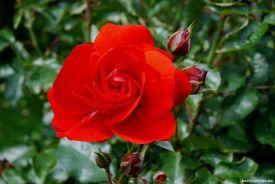 Sonjas Rose