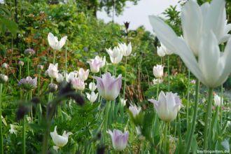 Tulpen zu Allium