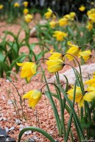 Wildtulpe Tulipa sylvestris