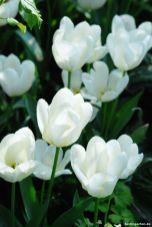 Tulpe Purissima: blüht und blüht und blüht