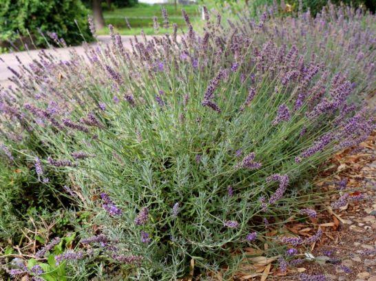 Verblühter Lavendel