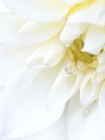 Weiße Dahlien mag ich ja auch ganz besonders gern. Toll für Sträuße