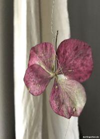 Weinrote Hortensienblüte
