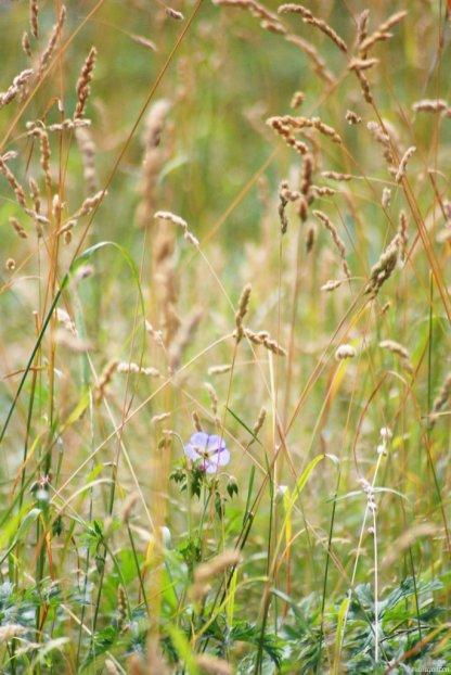 Wiese Geranium pratense