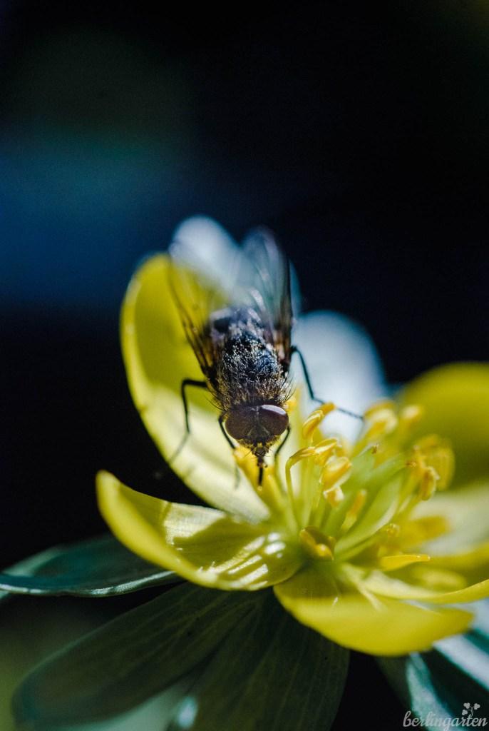 Winterlinge sind als frühe Tracht wertvoll für Bienen und andere Insekten wie diese Fliege