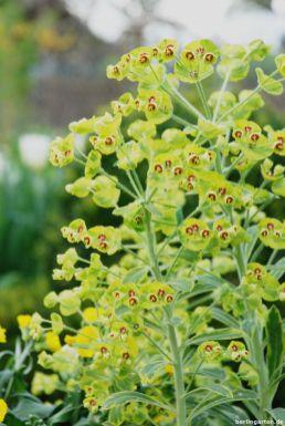 Wolfsmilch Euphorbia