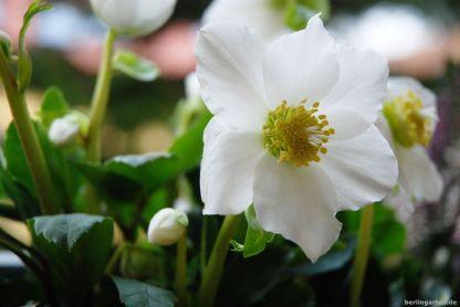 Wunderschöne Blüte der Christrose