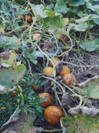 Üppiges Wachstum bringt die Zitronengurke im Beet