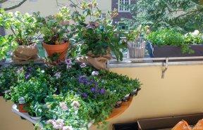 Der Balkon ist mit Lenzrosen gut über den Winter gekommen und braucht nun einen neuen Flor