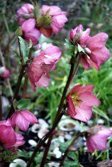 Diese Helleborus hat keinen Sortennamen. Sie ist eine Kreuzung aus Christ- und Lenzrose (Helleborus niger x Helleborus hybridus) und blüht entsprechend früh. Sehr wüchsig!