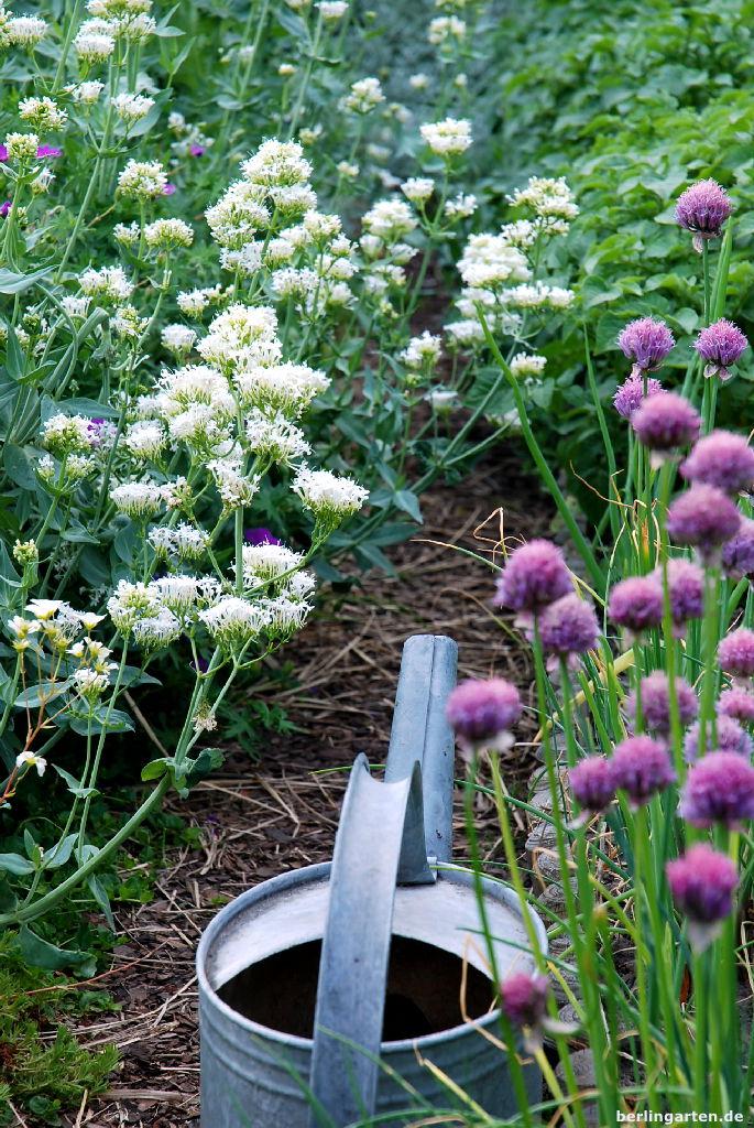 Spornblumen als Abgrenzung zum Gemüsegarten
