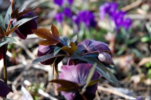 Helleborus Blue metallic Lady