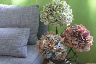 Neu gefärbte Hortensien