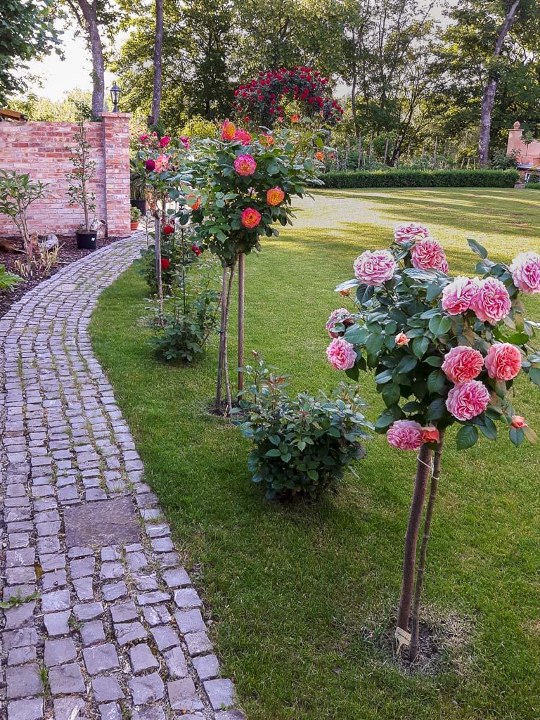 Allee aus Rosenhochstämmchen