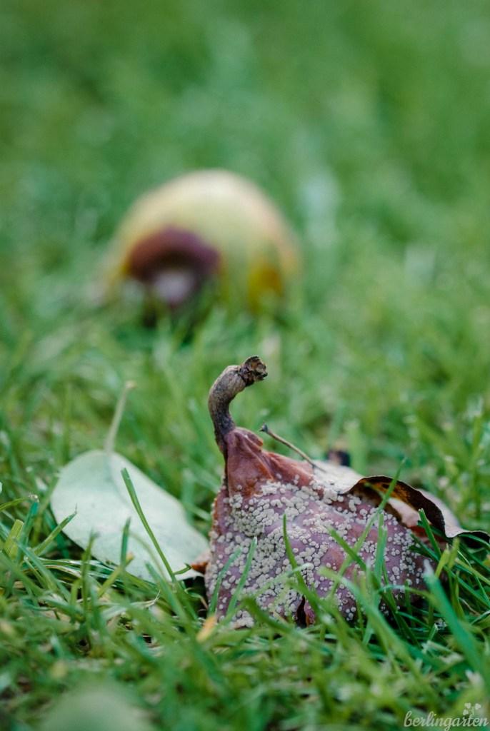 Birnen mit der Monilia-Fruchtwelke