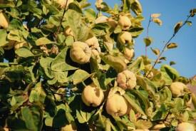 Apfelquitten