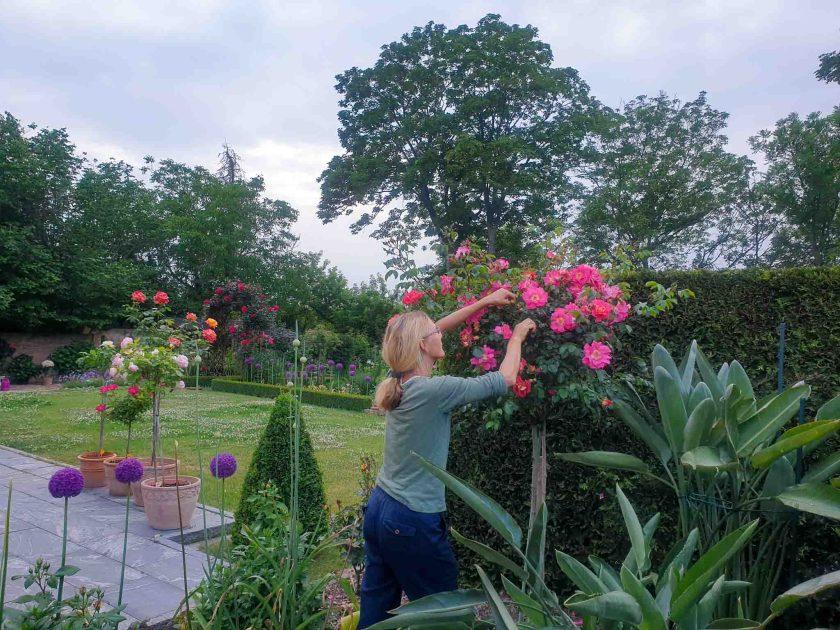 Conni bei der Rosenpflege