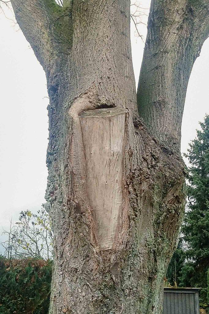 Ein Schnittfehler beim Baumschnitt ist die zu große Schnittfläche