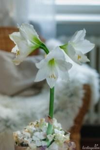 Zimmerpflanze Amaryllis