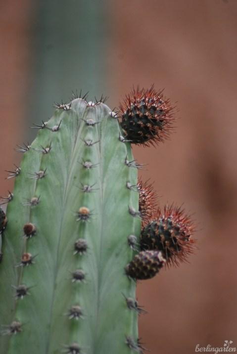 Kaktus Pachycereus marginatus