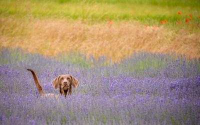 Loitering amongst the lavender