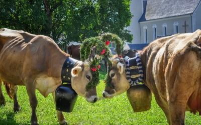 The return of the Tirolean cattle in Bartholomaberg, Austria