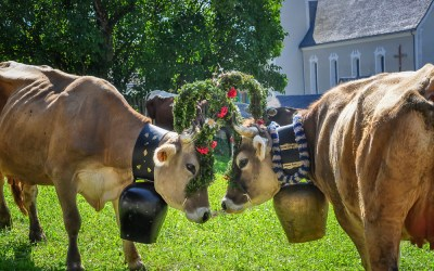 The return of the Tirolean cattle in Bartholomaberg, Austria