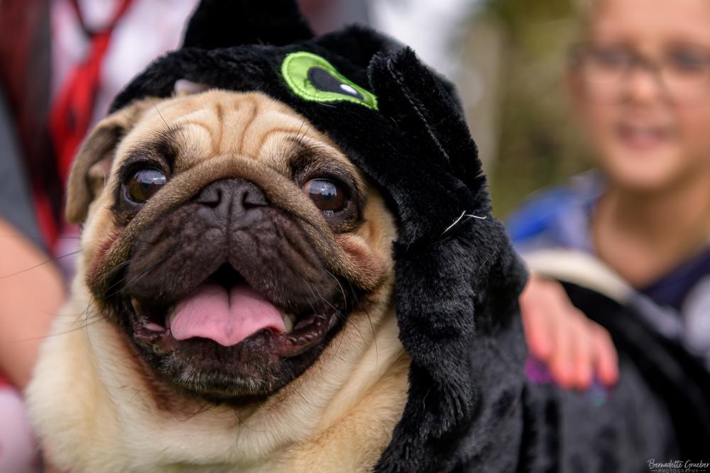 A Halloween Pug party in Barnham, West Sussex
