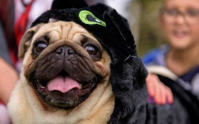 A Halloween Pug party in Barnham, West Sussex