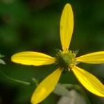 single false sunflower with bud