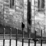 black and white photo of a starling on a fence