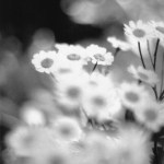 feverfew flowers in black and white