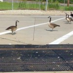 geese at intersection