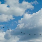 geese in lovely clouds