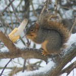 Squirrel stuffing his cheeks full.