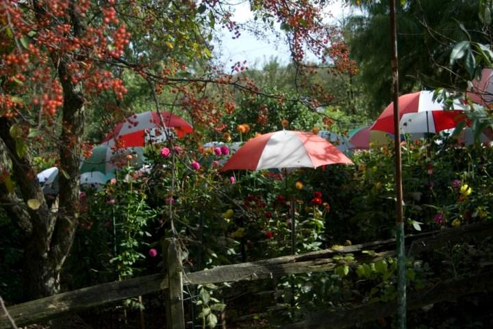 umbrellas and dahlias