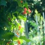 Red Runner Bean Flowers