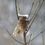 frozen bird's nest