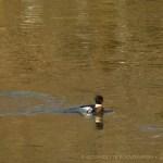 merganser on creek