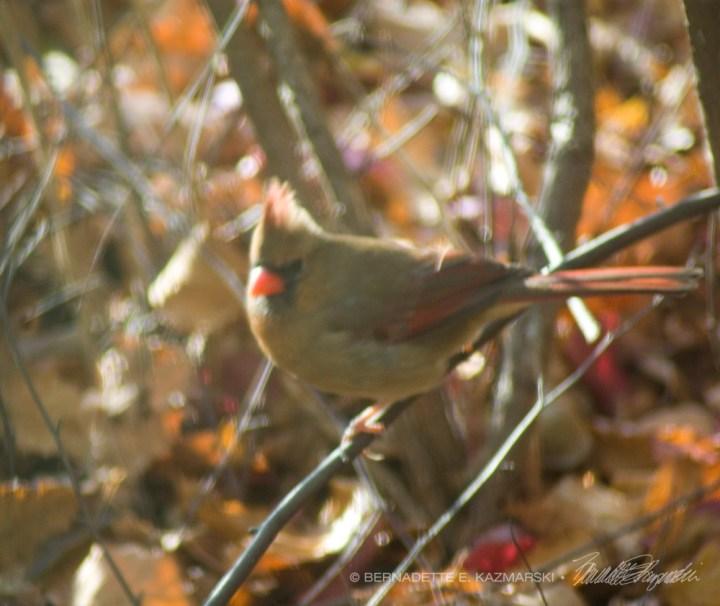 female cardinal on branch