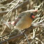 female cardinal in tree