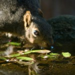 Squirrel having a drink at the birdbath.