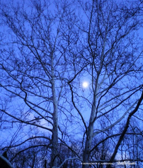 120811-MoonlightSycamores-1000px