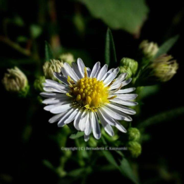Many-flowered Aster