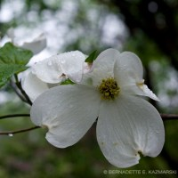Dogwood in the Rain