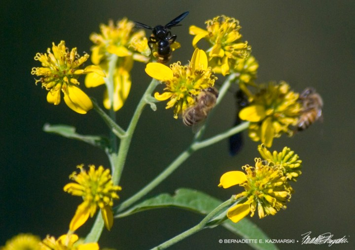 Four Bees on Wingstem