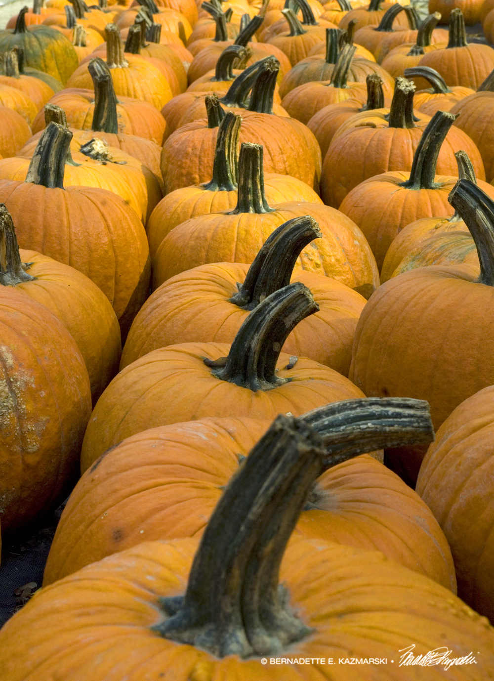 A Long Line of Pumpkins
