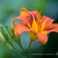 The First Daylily